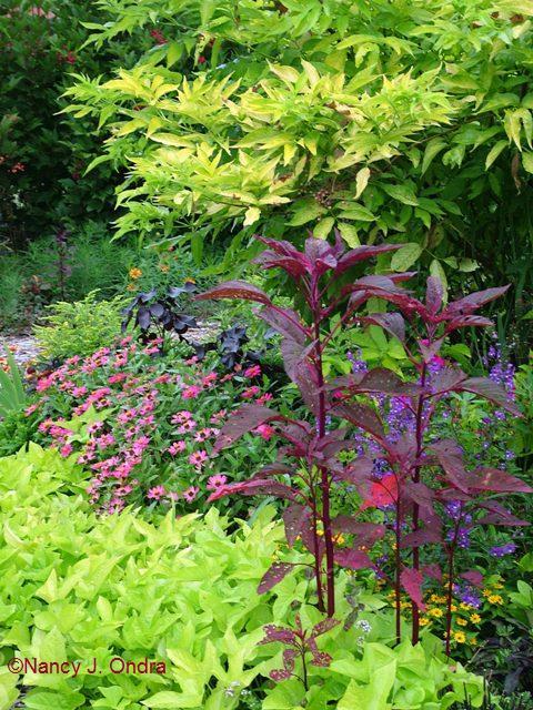 Amaranthus Hopi Red Dye Ipomoea batatas Margarita Zinnia Cherry Profusion Sambucus nigra Aurea Aug 23 06
