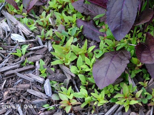 Celosia seedlings
