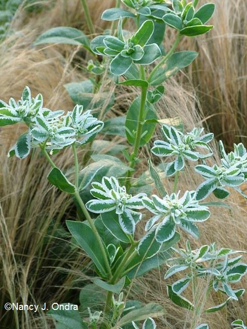 Euphorbia marginata Aug 1 08