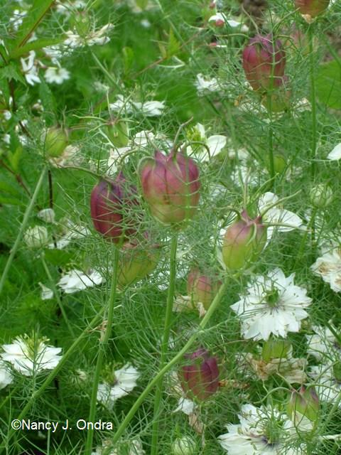 Nigella Cramers Plum June 14 08