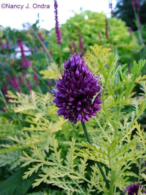 Allium schoenoprasum July 13 09