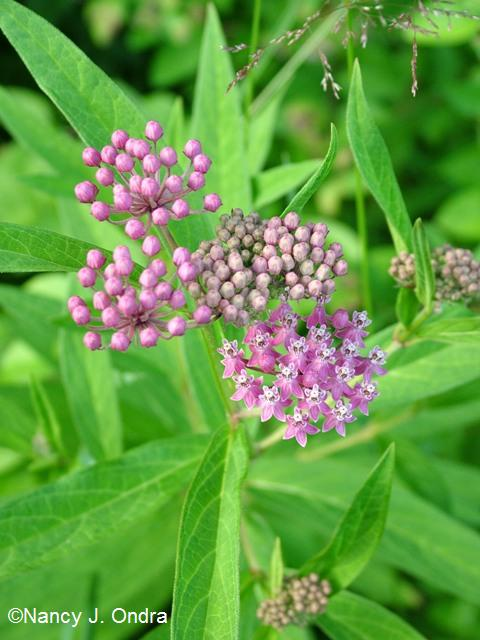Asclepias incarnata July 13 09