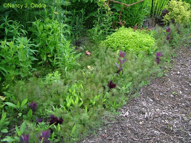 Bronze fennel seedlings June 1 09
