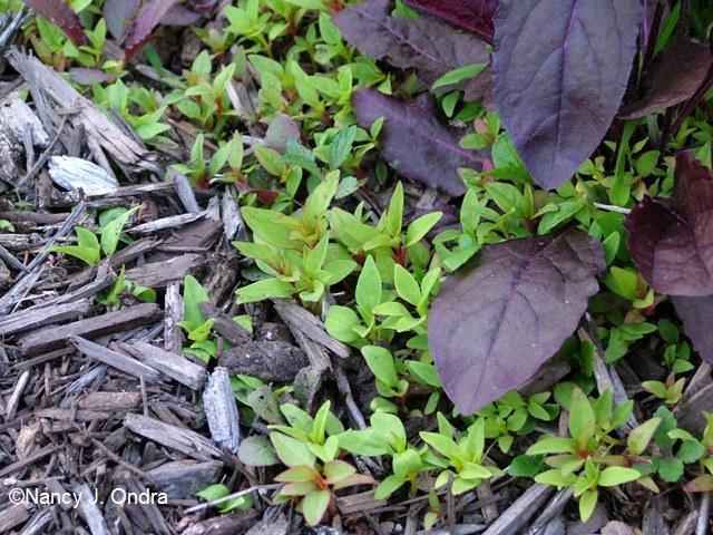 Celosia seedlings June 1 09