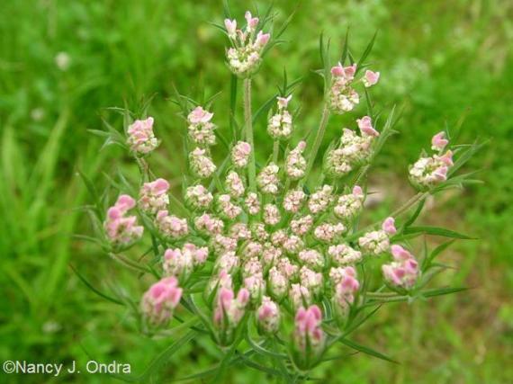 Daucus carota pink July 7 09