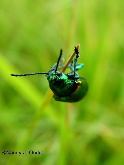 Dogbane beetle July 7 09