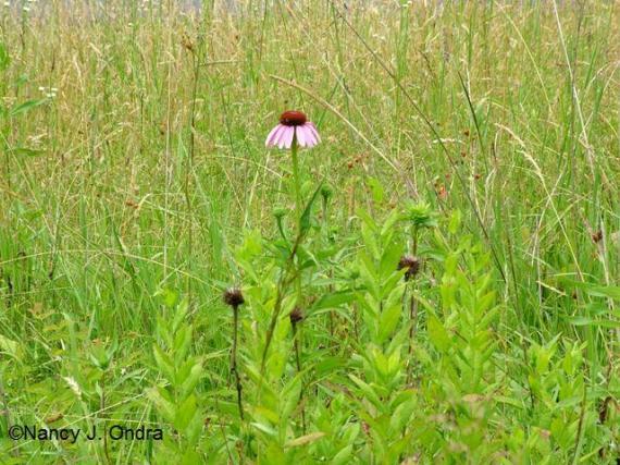 Echinacea in meadow July 7 09