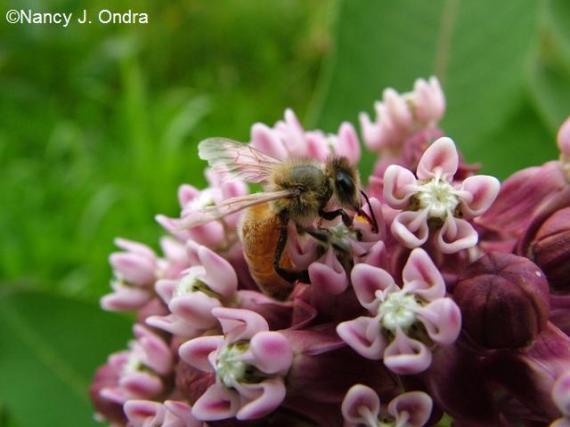 Honey bee on Asclepias syriaca July 7 09