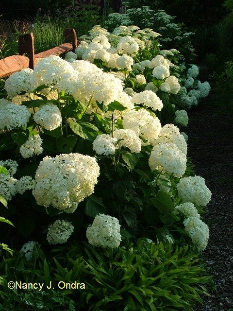 Hydrangea arborescens radiata July 13 09