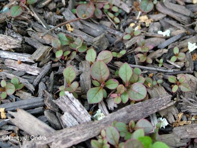 Persicaria capitata seedlings June 1 09