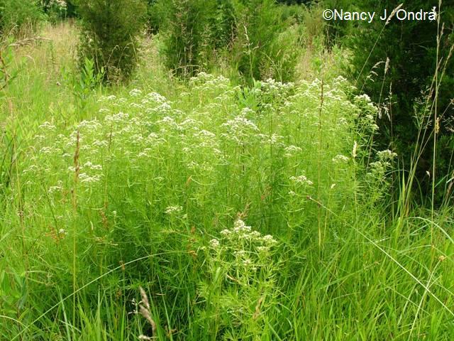 Pycnanthemum tenuifolium July 7 09
