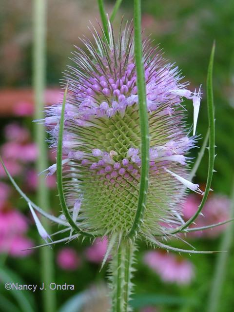 Teasel closeup July 28 09
