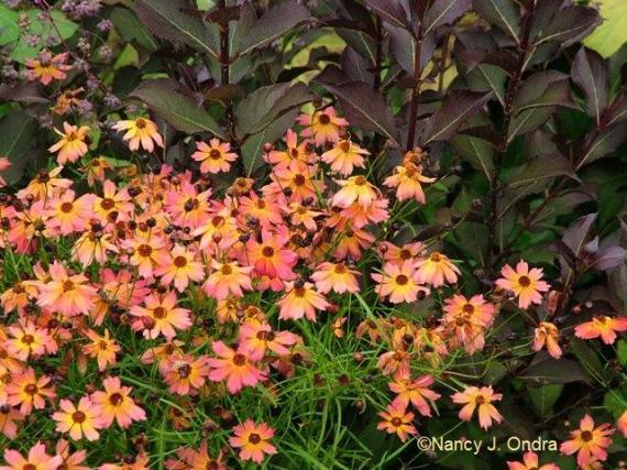 Coreopsis Limerock Dream Aug 14 09