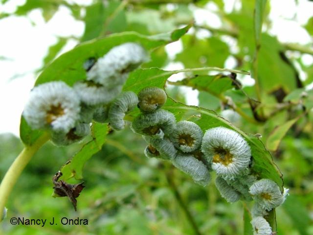 Dogwood sawflies under leaf Aug 29 09