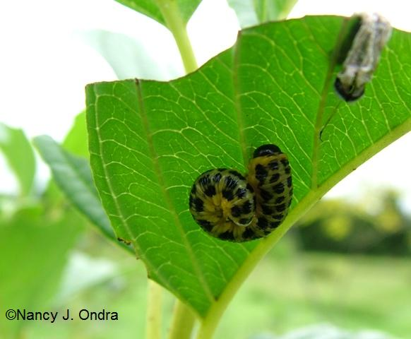 Dogwood sawfly curled spotted Aug 29 09