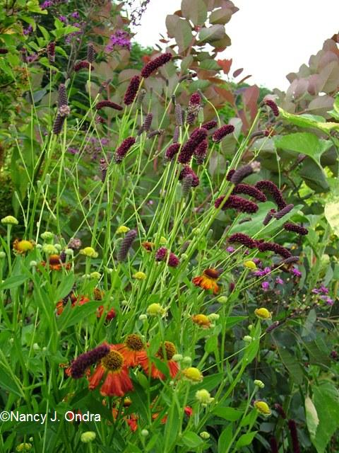 Sanguisorba and Helenium Aug 13 09