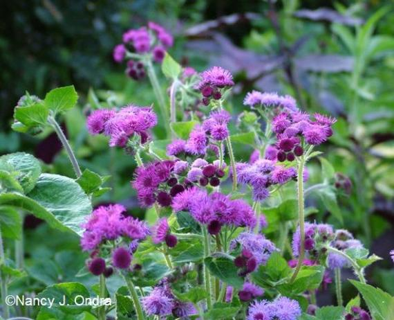 Sept 09 Ageratum Red Sea