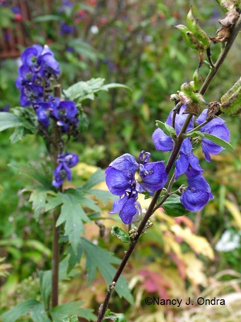 Aconitum carmichaelii Oct 13 09