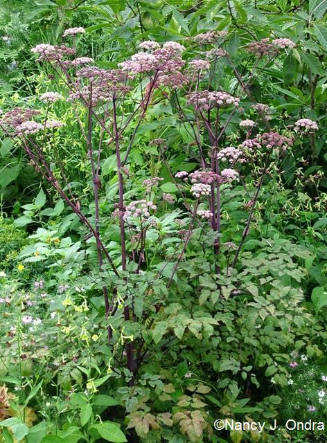 Angelica Ebony in bloom July 22 09