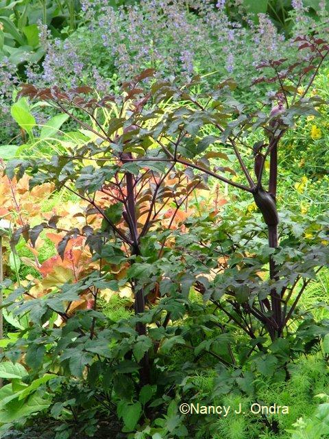 Angelica Ebony plants June 26 09