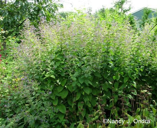Caryopteris divaricata clump Aug 24 09
