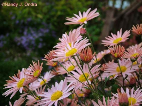 Chrysanthemum Sheffield Pink Oct 13 09