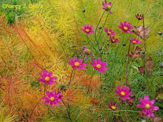 Cosmos bipinnatus Oct 13 09