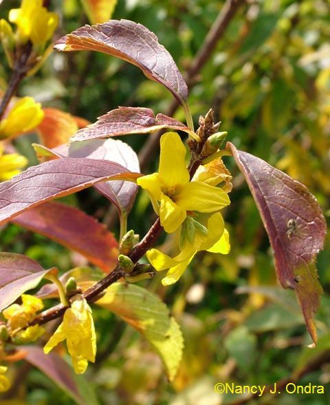 Forsythia viridissima Kumson Oct 13 09