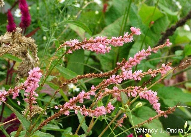 Persicaria amplexicaulis Pink Elephant oct 13 09