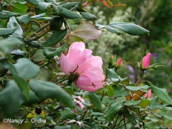 Rosa Radyod Oct 13 09