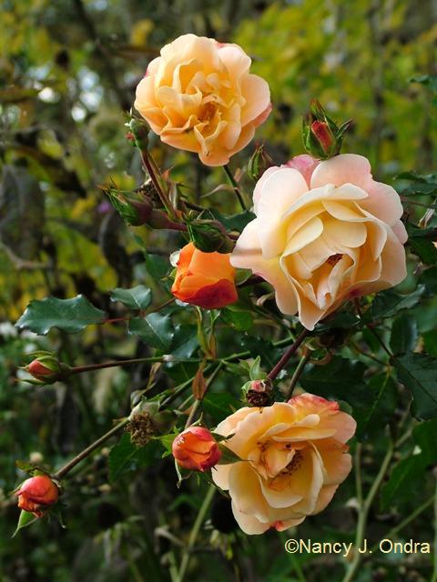 Rose Flower Carpet Amber Oct 13 09