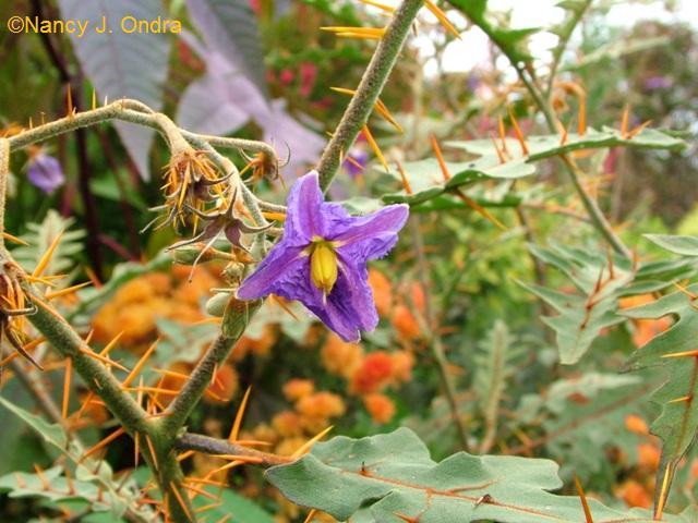 Solanum pyracanthum oct 12 09
