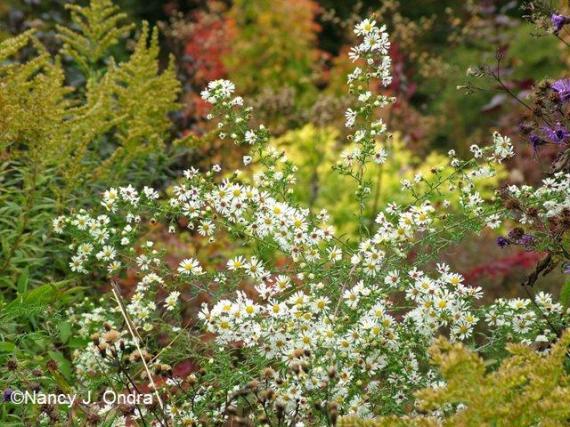 Symphyotrichum pilosum var pilosum Oct 13 09