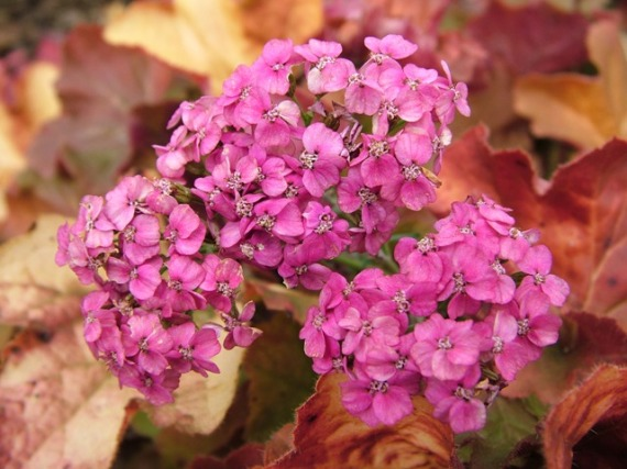 Achillea Saucy Seduction Heuchera Nov 13 09