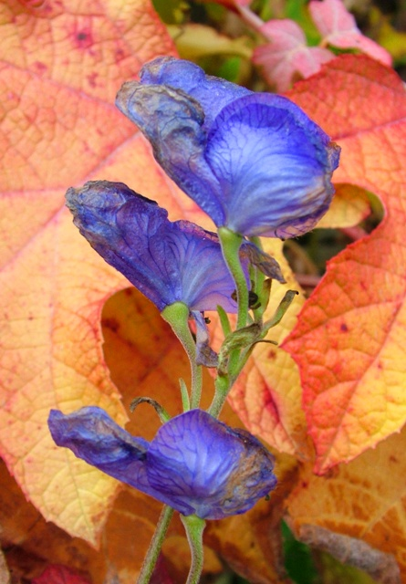 Aconitum carm Hydrangea LH Nov 13 09