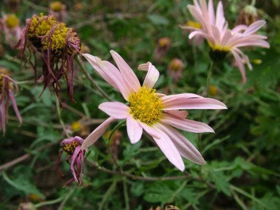 Chrysanthemum Sheffield Pink Nov 13 09