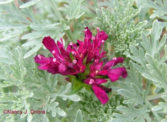 Knautia macedonica Artemisia PC Nov 13 09