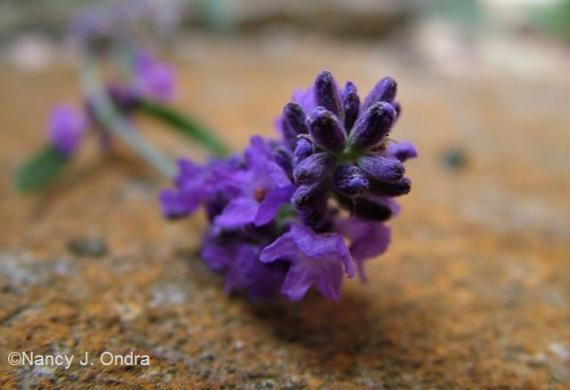 Lavandula angustifolia Nov 13 09