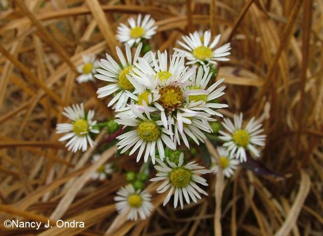 Symphyotrichum ericoides var ericoides Molinia Nov 13 09
