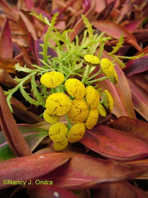 Tanacetum Isla Gold Persicaria affine Nov 13 09
