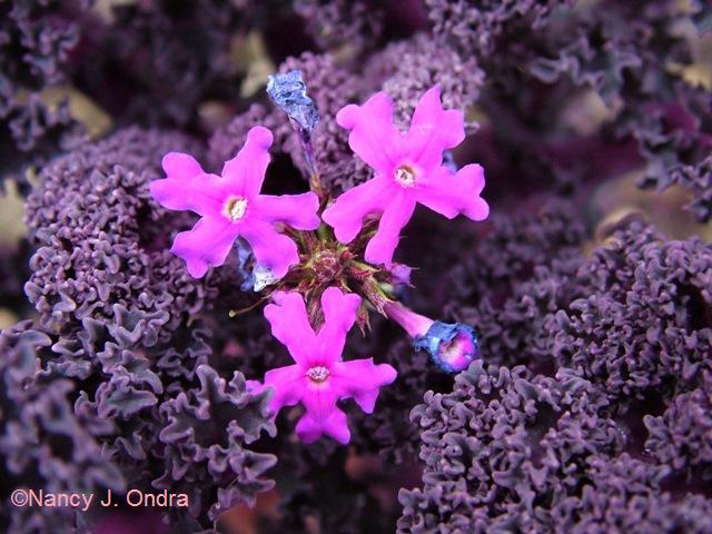 Verbena Imagination Kale Redbor Nov 13 09