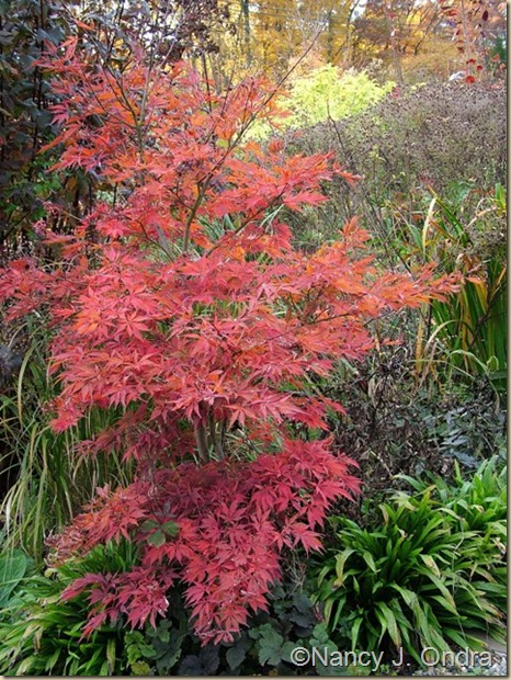 Acer palmatum from Windrose fall color Oct 25 09