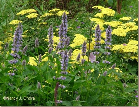 Agastache Blue Fortune Achillea Anthea July 16 09