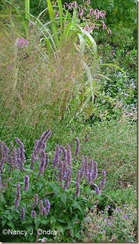 Agastache Blue Fortune Oct 2 09