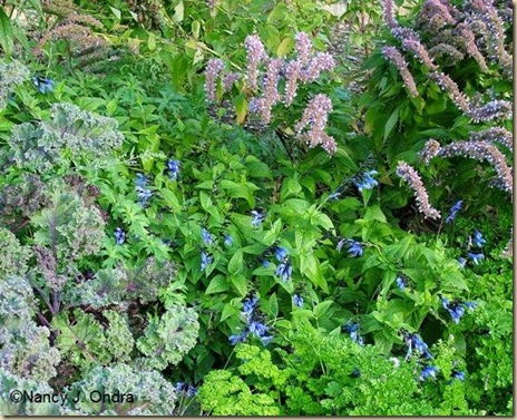 Agastache Blue Fortune Petroselinum Triple Curled Salvia Black and Blue Kale Redbor late Sept 06