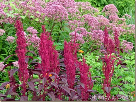 Amaranthus Hopi Red Dye Aug 8 09