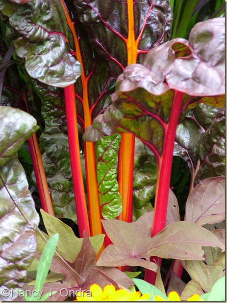 Chard Bright Lights selection Aug 2 08