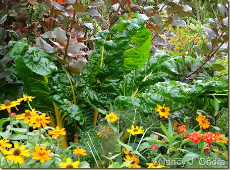 Chard Bright Lights yellow selection Oct 4 08