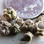 Chard seeds