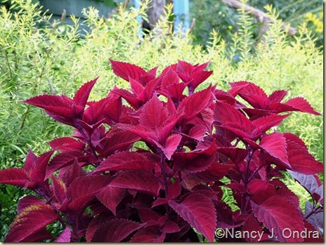 Coleus Big Red Judy Sept 2 09